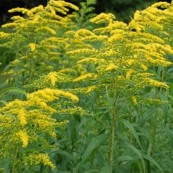 Commonly called Rigid Goldenrod or Stiff Goldenrod, this perennial is easily propagated from Solidago seeds. This Goldenrod wildflower is very versatile, native to the United States and has many uses