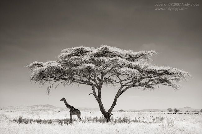 giraffe, tree, acacia, open, landscape, serengeti, tanzania, park, grass, shade, timeless, hope, rem