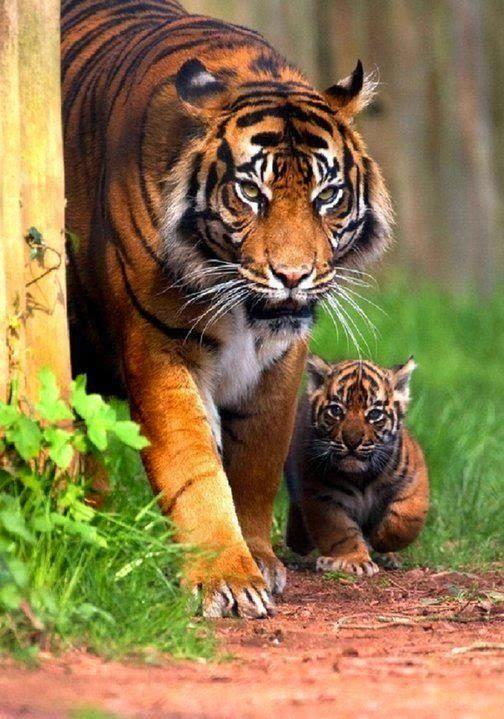 Tiger and cub photo