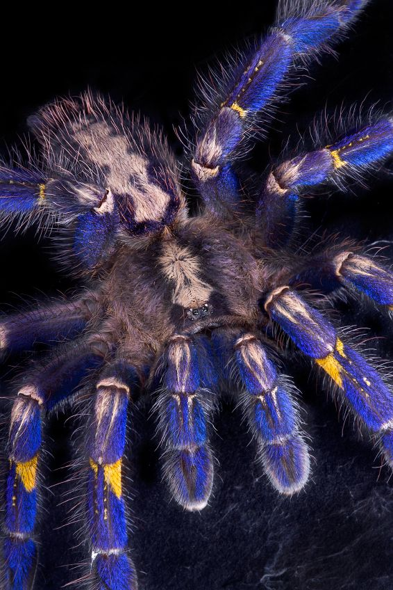 Reptile Pets Direct: Gooty Sapphire Ornamental Tree Spider For Sale....Really fuzzy lol