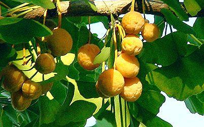 gingko poem gpethe | Les fruits du le ginkgo biloba, arbre aux quarante écus, arbre aux ...