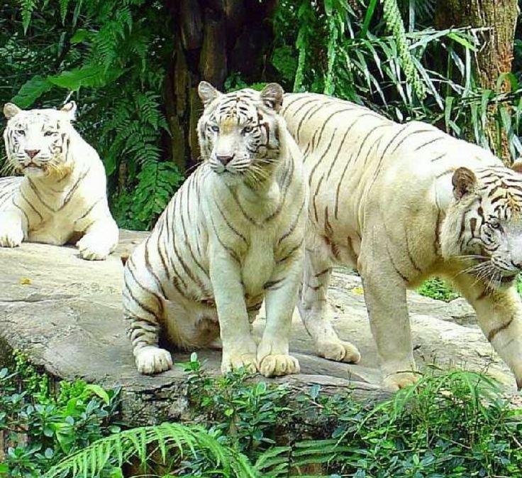 38 best Albino tigers ...