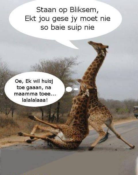 Giraffes often slip on tarred roads. Thus lions are known to chase them onto roads during a hunt.  In this Afrikaans parody they are compared to a pair of drunks.