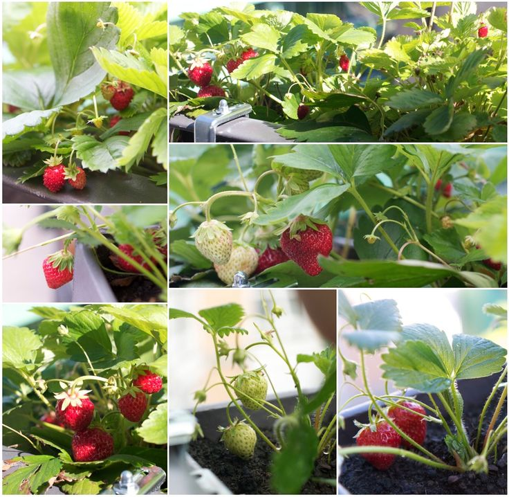 Strawberry In Container Growing: Growing Strawberries In Containers