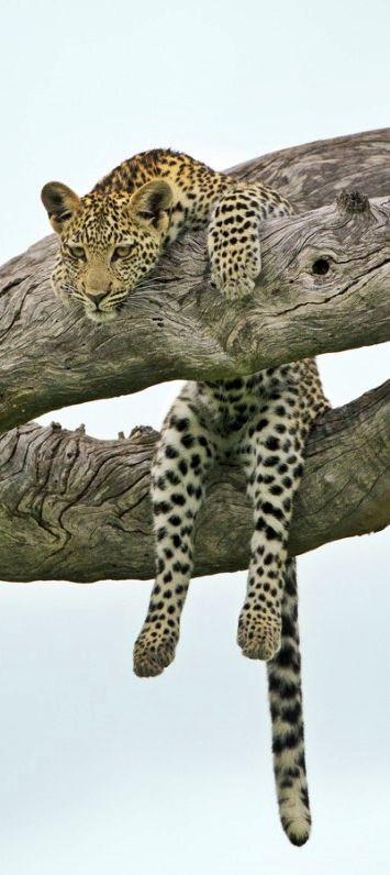 Lazy Leopard sitting in a tree