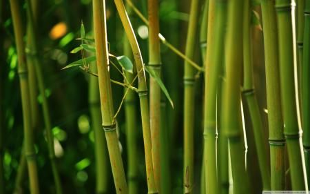 Skiper's Woodz: Green Bamboo, Google Image, Bohemian Bamboo, Bamboo Stems, Bamboo Sunglasses, Forests High, Bamboo Forests, Bamboo Bundle, Desktop Wallpapers