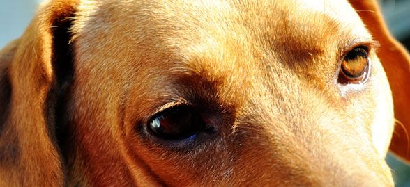 Is Your Dog Frightened Of Fireworks And Thunderstorms