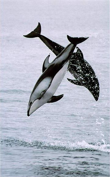 Pacific White Sided Dolphins! These guys are awesome! I got to work with them at Sea World a few years ago.