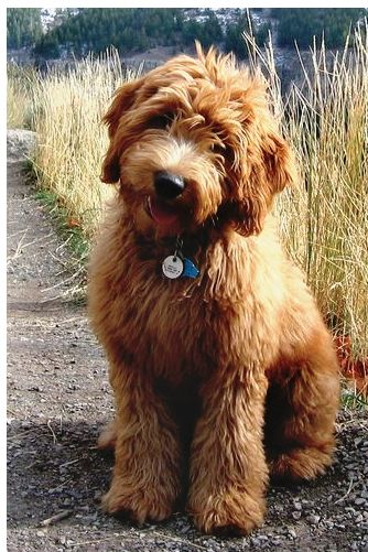Can I please have? #goldendoodle