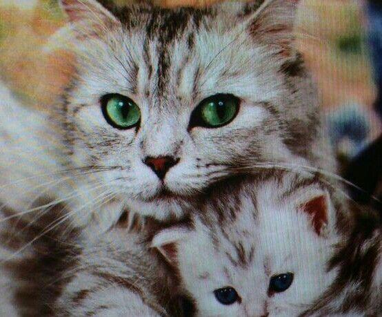 M s de 1000 ideas sobre gato bosques de noruega en - Trepadores para gatos ...