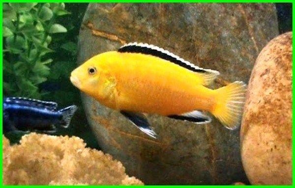 Daftar Ikan Hias Kecil Cantik Yang Mesti Kamu Ketahui Daftarhewan Com Ikan Hiasan Ikan Cupang