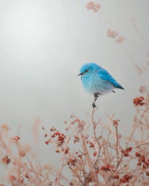 cherokeeghostrider: Little bird of blue I listen carefully as you sing Your notes floating down slipping through my screen door  in early s...