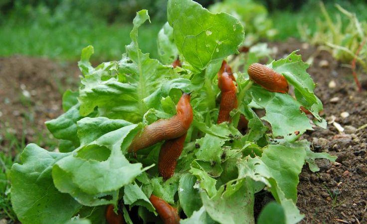 Schnecken erfolgreich bekämpfen -  Schneckenkorn, Scheckenzäune, Bierfallen, Lockpflanzen oder gar Laufenten: Wir zeigen Ihnen was wirklich hilft, die alljährliche Schnecken-Plage im Garten einzudämmen.