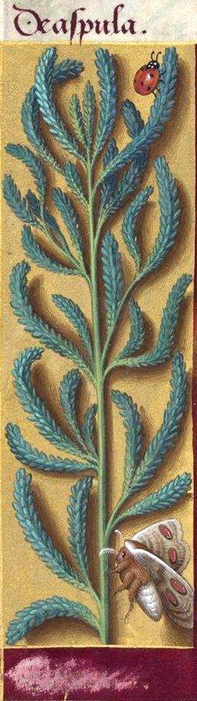 [nom effacé] - De aspula (plante indéterminable ; Decaisne y voyait un rameau de Tamarix ou de Myricaria) -- Grandes Heures d'Anne de Bretagne, BNF, Ms Latin 9474, 1503-1508, f°219v