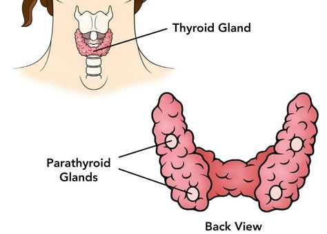 parathyroid and adrenal glands Parathyroid glands are small endocrine glands in the neck of humans and other tetrapods that produce parathyroid hormonehumans usually have four parathyroid glands, variably located on the back of the thyroid gland.