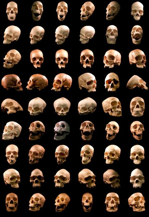54 human skulls, #skeleton, #things organized, #anatomy
