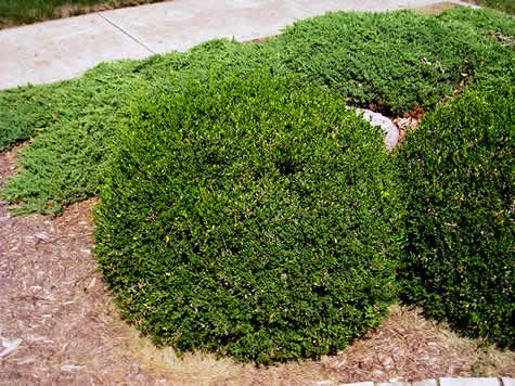 Learn More About Buxus U0027Green Velvetu0027 (Boxwood)! Read Up On This Plant Or  Stop Into Sunnyside Gardens In Minneapolis To Talk To Our Experts!