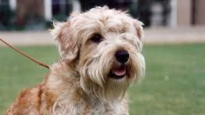 Image result for lucas terrier