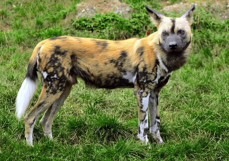 The African Wild-Dog [Lycaon pictus]. Only 3000-5000 African Wild Dogs lived 1997 in the wild. They are endangered.