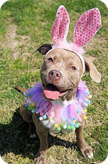 Virginia Beach VA - American Pit Bull Terrier Mix. Meet 1403-0479 Roxy a Dog for Adoption.