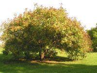 Small tree - yellow flowers, golden leaves in autumn:bHabitus/ Gestalt / Äußere Form von Koelreuteria paniculata