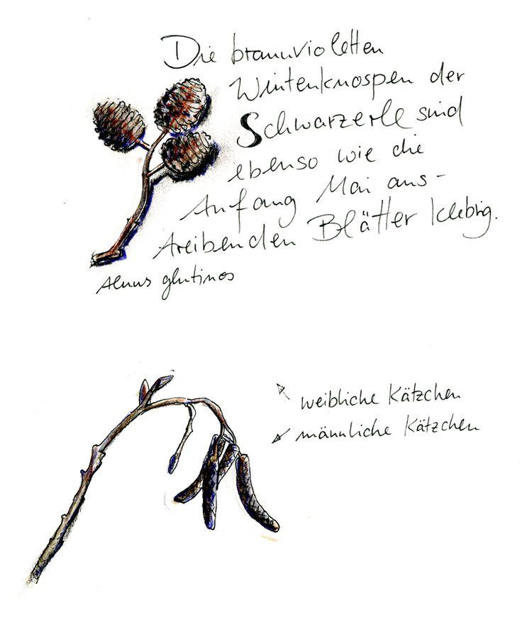 Schwarzerle