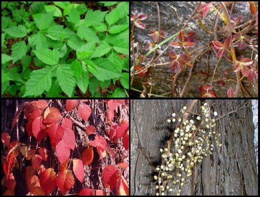 Identify Poison Ivy - Rash, Treatment, Pictures, and Remedies for Camping with Kids