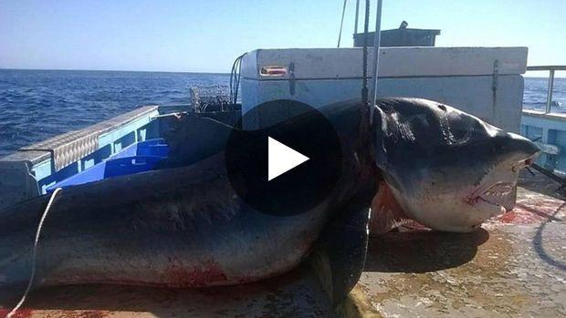 Les images d'un immense requin-tigre ont récemment fait leur apparition sur les réseaux sociaux