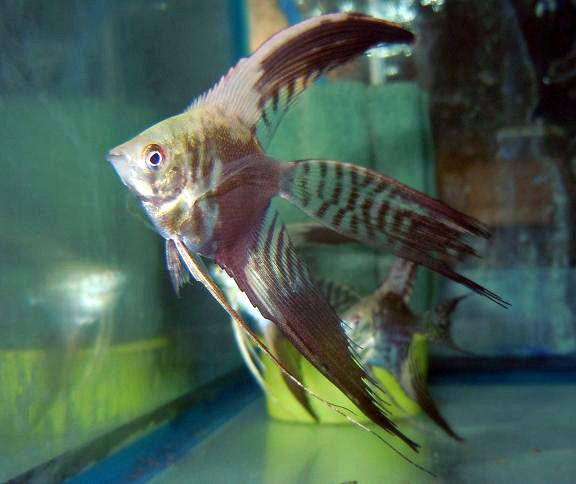 1000 images about fish angels neons on pinterest for Freshwater tropical fish online
