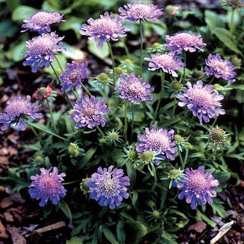 42 best collection de plantes vivaces latour marliac for Les plantes vivaces