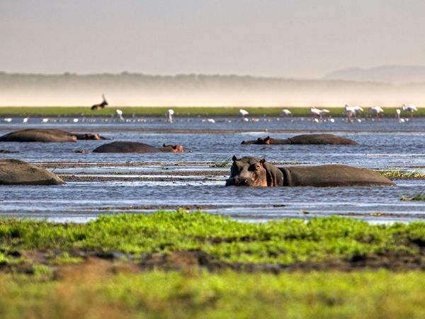 Hippos at the Great St. Lucia Wetlands Park, also known as iSimangaliso Wetland Park which stretches along South Africa's eastern coast.