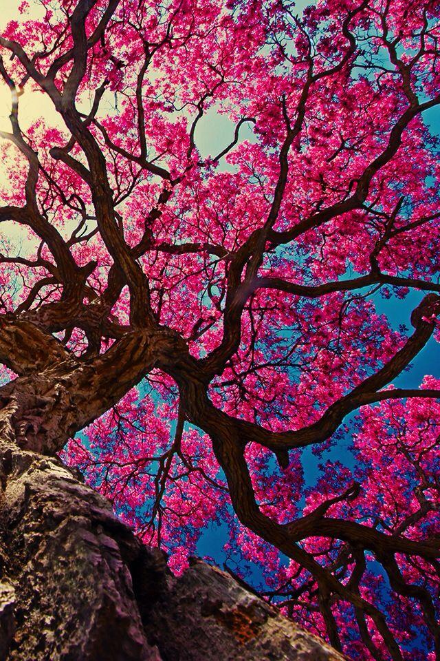 Fond Ecran Iphone Fleur De Cerisier