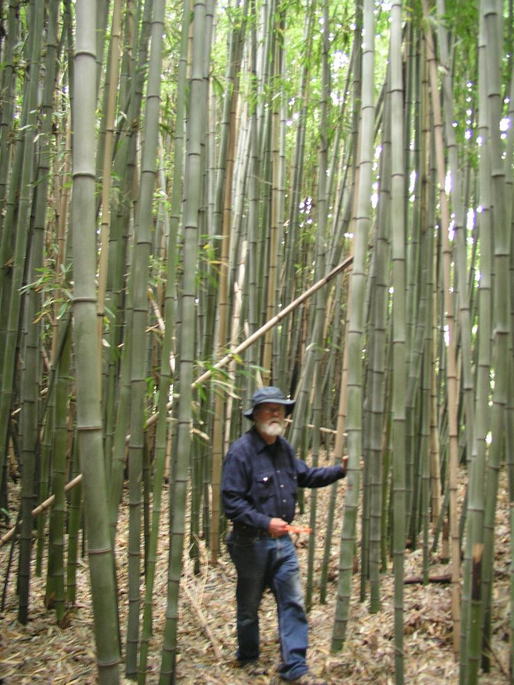 Nj Bamboo Landscaping: 25+ Best Ideas About Phyllostachys Nigra On Pinterest