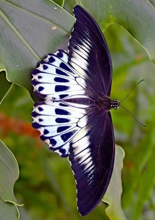 Beautiful navy and white butterfly...so striking! (via Purple Everything)