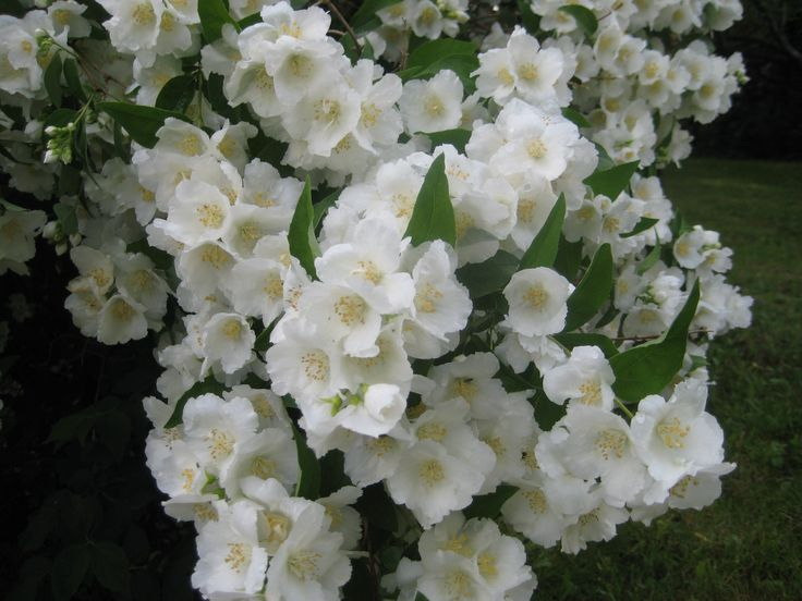 Jasmine bush at full bloom