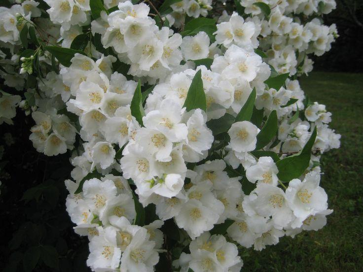 Jasmine bush at full bloom