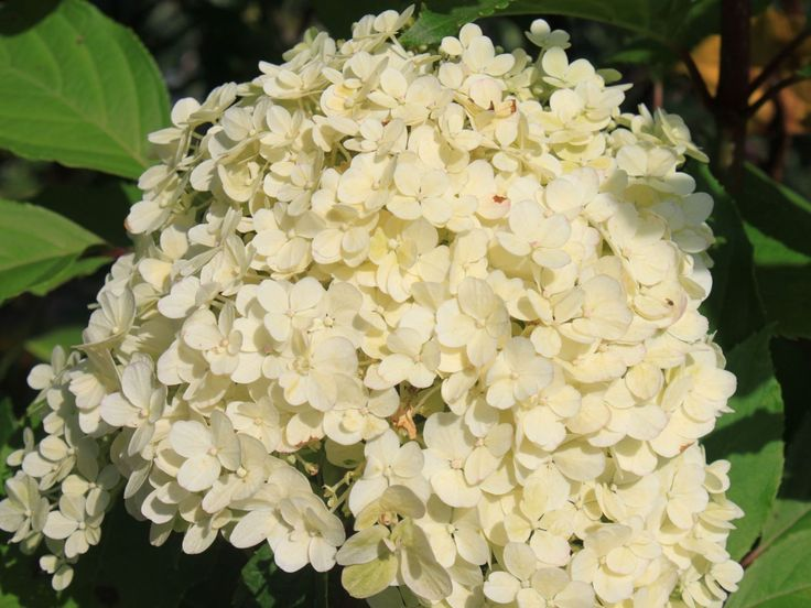 hydrangea paniculata bobo rispenhortensie 39 bobo. Black Bedroom Furniture Sets. Home Design Ideas