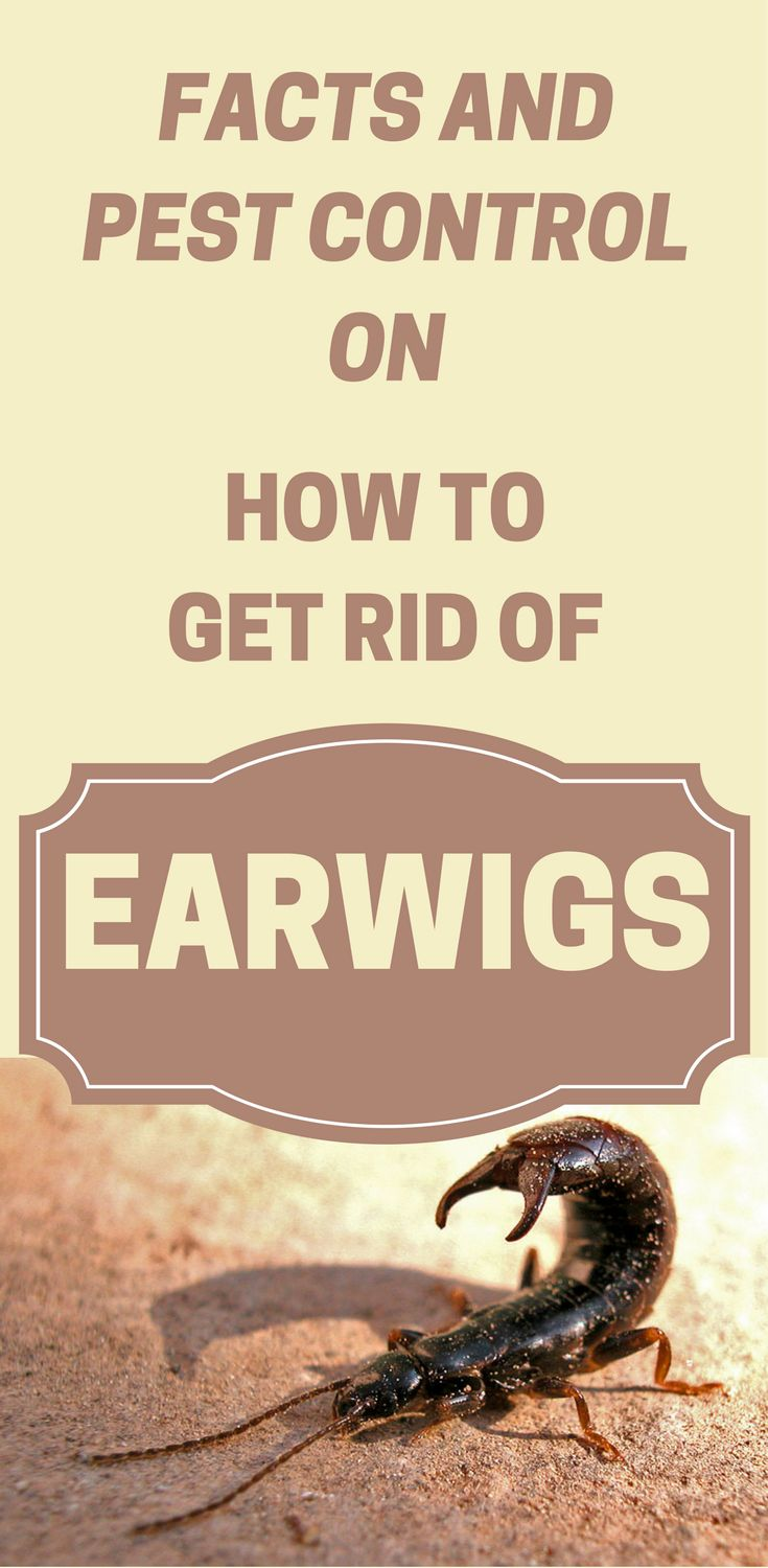 facts-and-pest-control-on-how-to-get-rid-of-earwigs