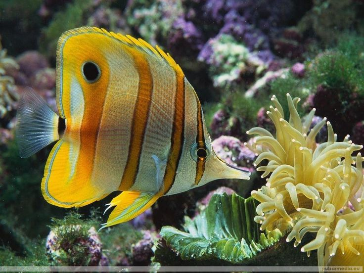 Pesci colorati - sfondi per desktop: http://wallpapic.it/oceano-e-mare/pesci-colorati/wallpaper-11382
