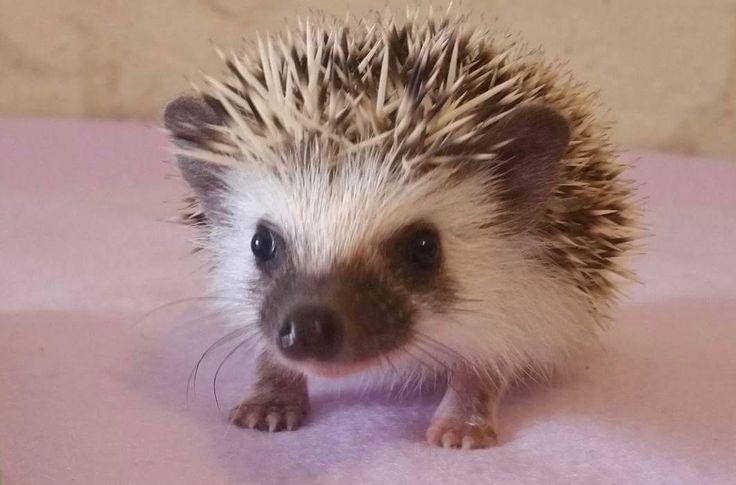 Ethical African Pygmy Hedgehog Breeder, Custom Built Vivariums and all things Hedgehog