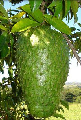 Graviola (Anona muricata L., Annonaceae) Origem: América tropical