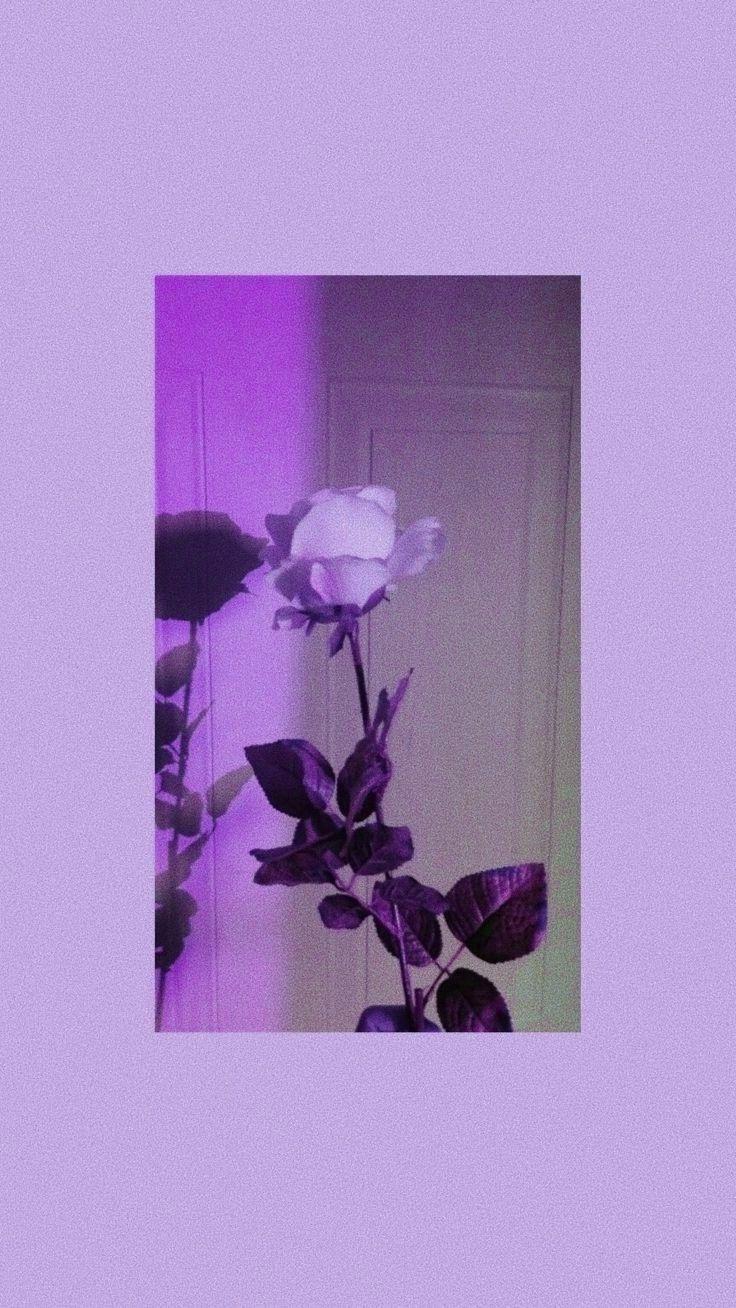 Wallpaper Tapeta Rose Roza Purple Fioletowy Purple Wallpaper Iphone Iphone Wallpaper Tumblr Aesthetic Purple Wallpaper