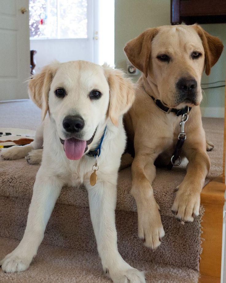 English Golden Retrievers | Dog Breeds WallpapersDog Breeds Wallpapers