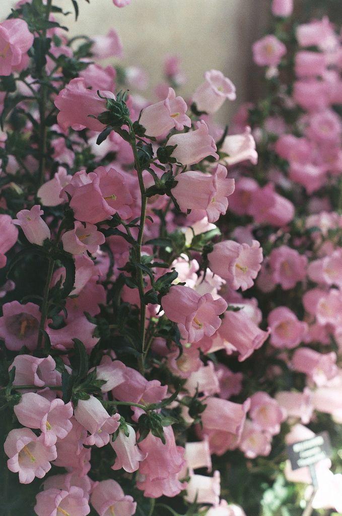 Pink Canterbury Bells ( aka Bell Flower or Campanula Medium .... Old Cottage Garden Flower ....