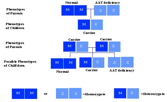 Alpha antitrypsin deficiency nih genetics home reference
