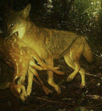 States Targeting Coyotes in Groundbreaking Research ...