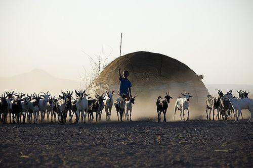 Assaïta kid and goats, Danakil, Ethiopia by Eric Lafforgue, via Flickr