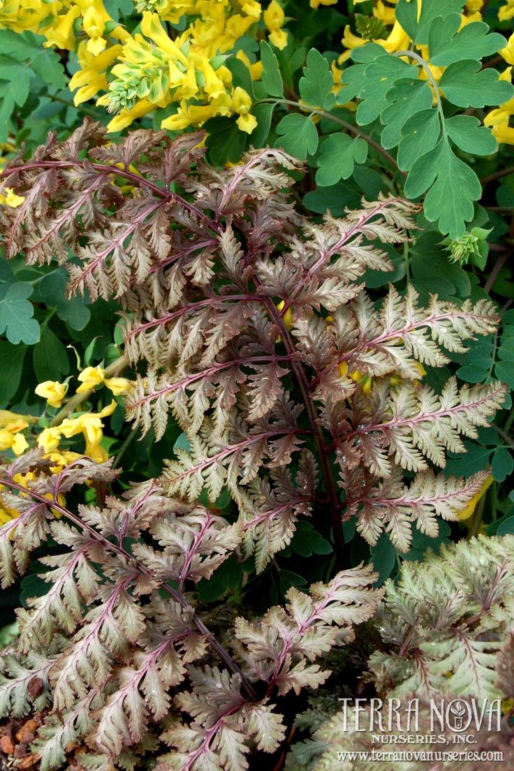 98 best ferns images on pinterest ferns plants and shade garden