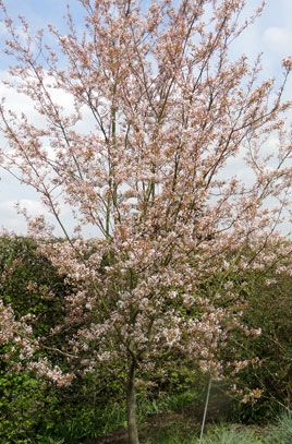 Amelanchier Robin Hill is a small upright tree or shrub with flowers in early spring followed by coppery foliage, which turns green over the summer and then brilliant tints in autumn. Mature ht 3-7m in 10-20 yrs.