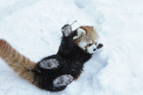Aninimal Book: Red Panda Rolling in Snow | Cute Animals | Pinterest